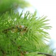 Branch of fir-tree in garden — 图库照片