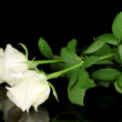 Stock Photo: Cream rose isolated on black