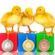 Three duckling on championship podium isolated on white — Stock Photo