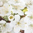 Stock Photo: Beautiful cherry blossom close up