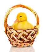 Duckling in basket isolated on white — Stock Photo