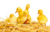 Five duckling on straw isolated on white — Stock Photo