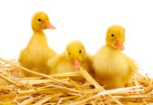 Three duckling on straw isolated on white — Stock Photo
