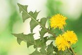 Dandelion flowers and leaves on green background — Stock Photo