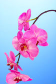 Beautiful blooming orchid on blue background — Stock Photo