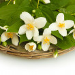 Beautiful jasmine flowers with leaves isolated on white — Stock Photo #11562729