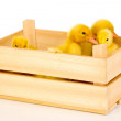 Duckling in crate isolated on white - Stock Photo