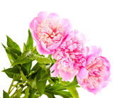 Three pink peonies isolated on white — Stock Photo