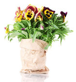 Beautiful violet pansies isolated on a white — Stock Photo