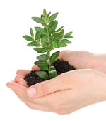 Young plant in hands isolated on white — Stock Photo