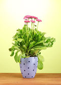 Daisy flowers in pot on wooden table on green background — Stock Photo
