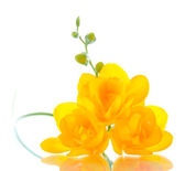 Beautiful yellow freesia isolated on white — Stock Photo