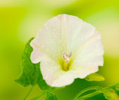 Bindweed on a bright green background close-up — Stock Photo