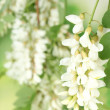 Stock Photo: Branch of white acacia flowers on green background