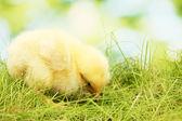 Schönes kleines huhn auf grünem gras im garten — Stockfoto