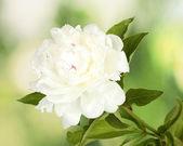 Beautiful white peony on green background — Stock Photo