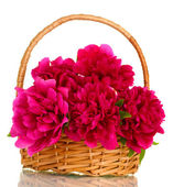 Beautiful pink peonies in basket with bow isolated on white — Stock Photo