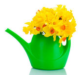 Beautiful yellow daffodils in watering can isolated on white — Stock Photo