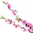Beautiful pink peach blossom isolated on white — Stock Photo #11780480