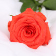 Beautiful rose on white cloth — Stock fotografie
