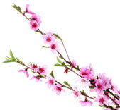 Beautiful pink peach blossom isolated on white — Stock Photo