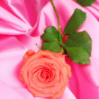 Beautiful rose on pink cloth — Stok fotoğraf