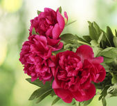Beautiful pink peonies on green background — Stock Photo
