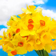 Beautiful yellow daffodils on blue sky background — Stock Photo #11845386