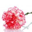 Two pink beautiful carnation isolated on white — Stock Photo #11845423