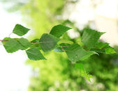 Green birch leaves on green background — Stockfoto