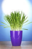 Beautiful grass in a flowerpot on wooden table on blue background — Stock Photo