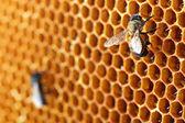 Gelbe schönen Waben mit Honig und Biene, Hintergrund — Stockfoto