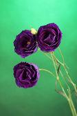 Purple eustoma on bright green background — Stock Photo