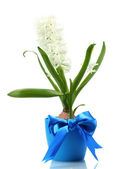Beautiful white hyacinth in blue flowerpot isolated on white — Stock Photo