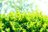 Buisson vert beau gros plan — Photo