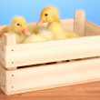 Duckling in crate on wooden table on blue background - Stock Photo