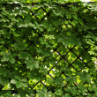 Wild grape winding along fence close-up - Stock Photo