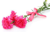Beautiful pink carnations isolated on white — Stock Photo