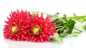 Beautiful red dahlias on white background close-up — Stock Photo