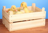 Duckling in crate on wooden table on blue background — Stock Photo
