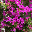 Purple bougainvillea flower close-up — Stock Photo