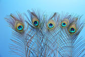 Peacock feathers on blue background — Stock Photo