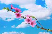 Belle fleur rose de la pêche sur fond de ciel bleu — Photo