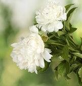 Beautiful white peonies on green background — Stock Photo