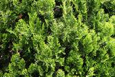 Park bush close-up — Foto de Stock