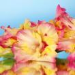 Royalty-Free Stock Photo: Branch of yellow-pink gladiolus on blue background close-up