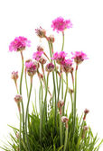 Pink flowers isolated on white — Stock Photo