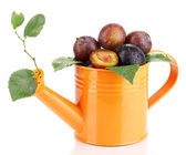 Rip plums in watering can isolated on white — Stock Photo