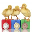 Three duckling on championship podium isolated on white - Stock Photo