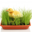 Duckling in green grass isolated on white — Stock Photo